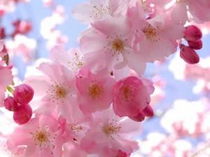 background CherryBlossom